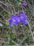 Закройте вверх голубых nobilis или liverleaf Hepatica цветка Стоковое фото RF