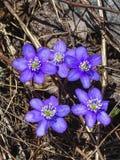 Закройте вверх голубых nobilis или liverleaf Hepatica цветка Стоковые Изображения