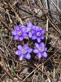 Закройте вверх голубых nobilis или liverleaf Hepatica цветка Стоковое Изображение RF