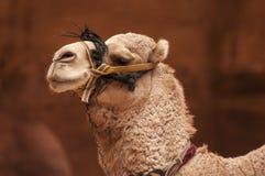 Закройте вверх головы верблюда в Petra Джордане Стоковые Фото