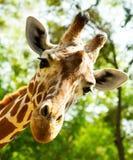 Закройте вверх головы жирафа Стоковое Изображение RF
