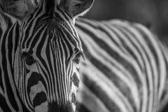 Закройте вверх головы зебры в черно-белом Стоковые Изображения