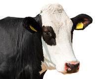 Закройте вверх головы коровы изолированной на белизне Стоковые Фото