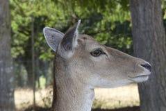 Закройте вверх головы оленей Стоковая Фотография RF