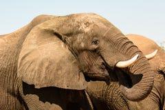 Закройте вверх головы слона Стоковая Фотография