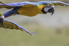 Закройте вверх голубого и желтый & x28; gold& x29; летание ары Стоковые Изображения RF