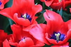 Закройте вверх голубого сердца красных тюльпанов Стоковые Изображения