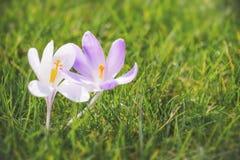 Закройте вверх голубых и белых цветков крокуса Стоковые Фотографии RF