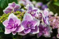 Закройте вверх голубых цветков гортензии Стоковое Изображение RF