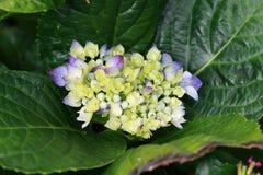 Закройте вверх голубых цветков колокола Стоковое фото RF