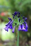 Закройте вверх голубых цветков колокола Стоковая Фотография