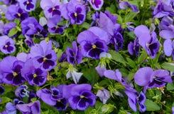 Закройте вверх голубых цветков pansy Стоковое Изображение RF
