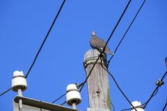 Закройте вверх голубя садить на насест на поляке сети электричества Стоковая Фотография RF