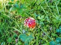 Закройте вверх гриба Muscaria мухомора - 1 Стоковое Фото