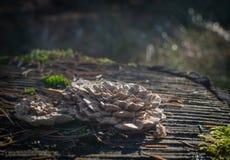 Закройте вверх грибка кронштейна Стоковое Изображение