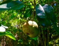 Закройте вверх груши на дереве Стоковое Фото
