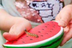 Закройте вверх гусеницы iphita Junonia Pansy шоколада стоковое фото rf