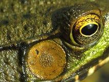 Конец-вверх Bullfrog Стоковое фото RF