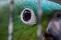 Закройте вверх глаза попугая Стоковое фото RF