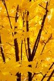 Закройте вверх дерева клена осенью; живой дисплей желтого цвета выходит против ветвей темного коричневого цвета Стоковые Фото