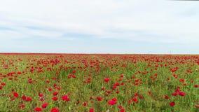 Закройте вверх для зацветая дикого поля красных маков, символа дня памяти погибших в первую и вторую мировые войны r Воздушный дл сток-видео