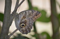 Закройте вверх довольно коричневой бабочки morpho Стоковая Фотография RF