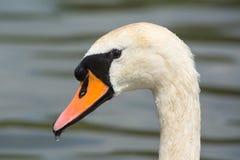 Закройте вверх лебедя Стоковое Изображение