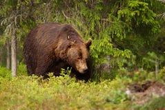 Закройте вверх европейского мужчины бурого медведя в лесе Стоковые Изображения