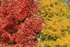 Закройте вверх дерева красного клена Стоковая Фотография RF