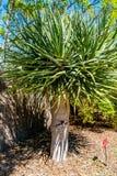 Закройте вверх дерева дракона Канарских островов в солнечном летнем дне Стоковое Фото