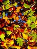 Закройте вверх желтого зеленого цвета и коричневой листвы в automn Стоковая Фотография