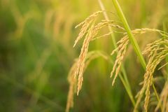Закройте вверх желтой рисовой посадки неочищенных рисов на поле стоковое фото rf