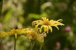 Закройте вверх 3 желтых маргариток против зеленого цвета сада Стоковое Изображение