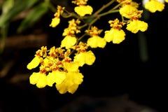 Закройте вверх желтых орхидей с естественной предпосылкой Стоковые Фотографии RF