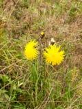 Закройте вверх желтых свежих цветков одуванчика лета в поле Стоковая Фотография