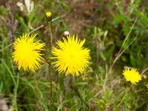 Закройте вверх желтых свежих цветков одуванчика лета в поле Стоковые Изображения RF