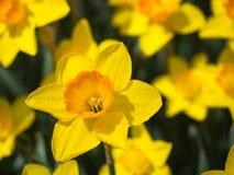Закройте вверх желтых daffodils Стоковые Изображения RF
