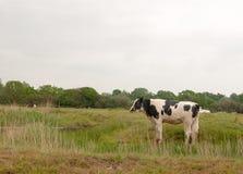 Закройте вверх женской коровы в поле есть и пася ослаблять внутри Стоковые Фотографии RF