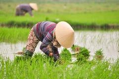Закройте вверх женщин работайте на поле риса стоковые фотографии rf