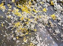 Закройте вверх желтого и белого грибка мха растя на черной крышке Стоковые Фотографии RF