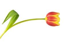 Закройте вверх желтого и красного тюльпана - изолированного на белизне Стоковое Изображение RF