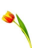 Закройте вверх желтого и красного тюльпана - изолированного на белизне Стоковое фото RF