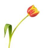 Закройте вверх желтого и красного тюльпана - изолированного на белизне Стоковые Изображения