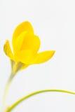 Закройте вверх желтого крокуса Стоковые Изображения