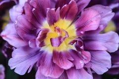 Закройте вверх желтого сердца фиолетового тюльпана стоковые изображения rf