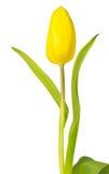 Закройте вверх желтого тюльпана - изолированного на белой предпосылке Стоковое Фото