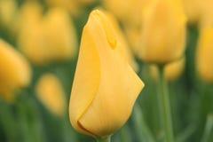 Закройте вверх желтого тюльпана стоковое изображение
