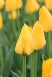 Закройте вверх желтого тюльпана стоковое фото