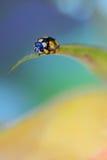 Закройте вверх желтого ladybug стоковые изображения rf