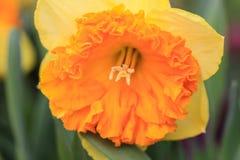 Закройте вверх желтого narcissus стоковые фото
